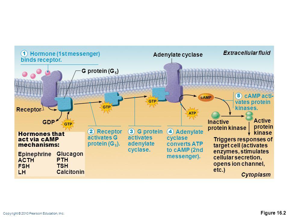 Hormone (1st messenger) binds receptor. Extracellular fluid