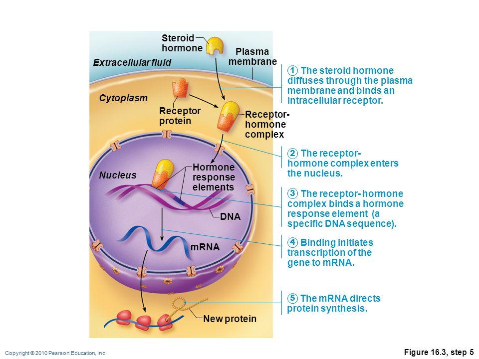 Receptor- hormone complex