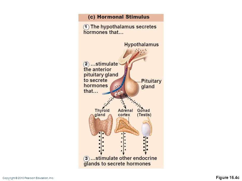 The hypothalamus secretes hormones that…
