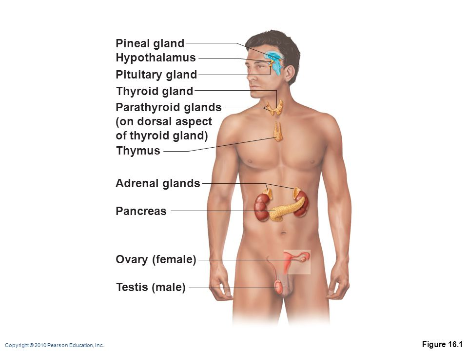 Pineal gland Hypothalamus Pituitary gland Thyroid gland