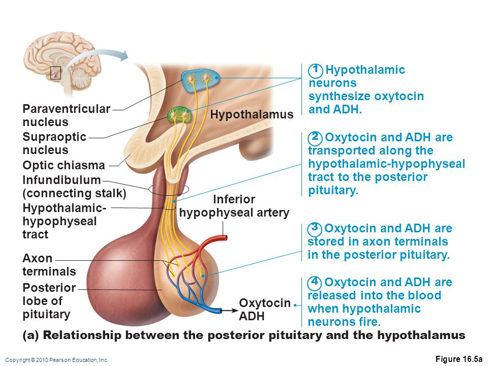 Inferior hypophyseal artery