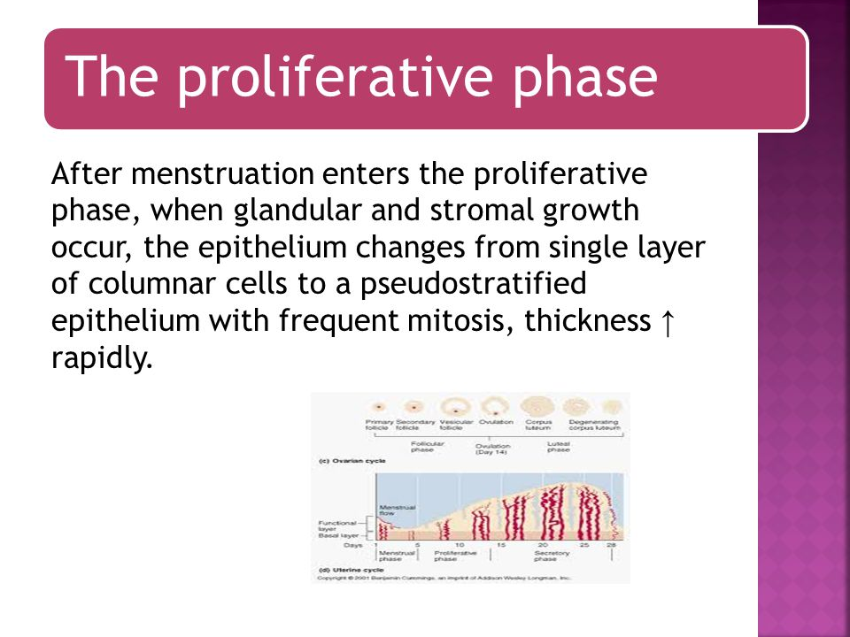 The proliferative phase