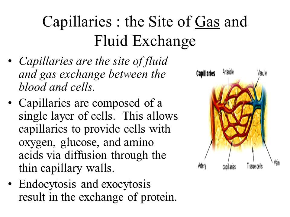 Capillaries : the Site of Gas and Fluid Exchange