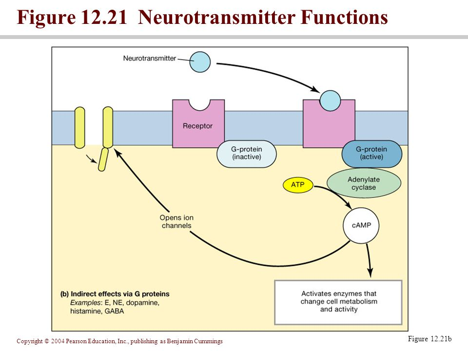 Figure 12.21 Neurotransmitter Functions