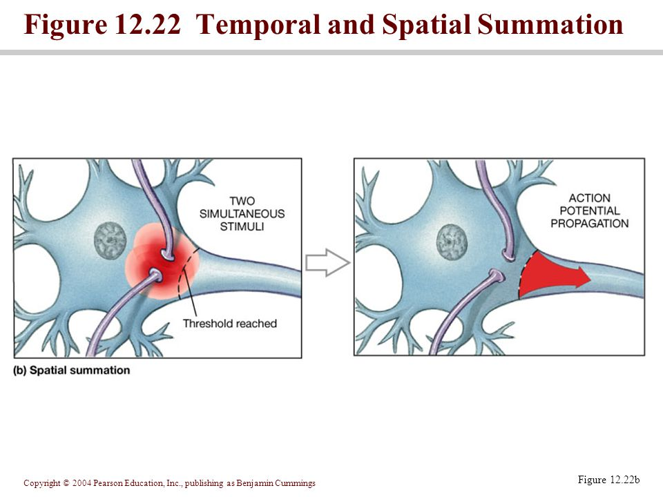 Figure 12.22 Temporal and Spatial Summation
