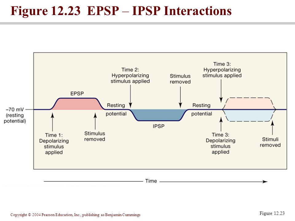 Figure 12.23 EPSP – IPSP Interactions