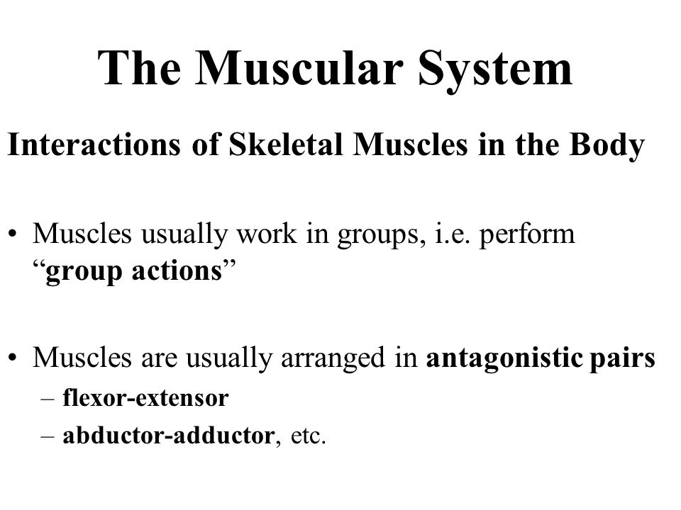 The Muscular System Interactions of Skeletal Muscles in the Body