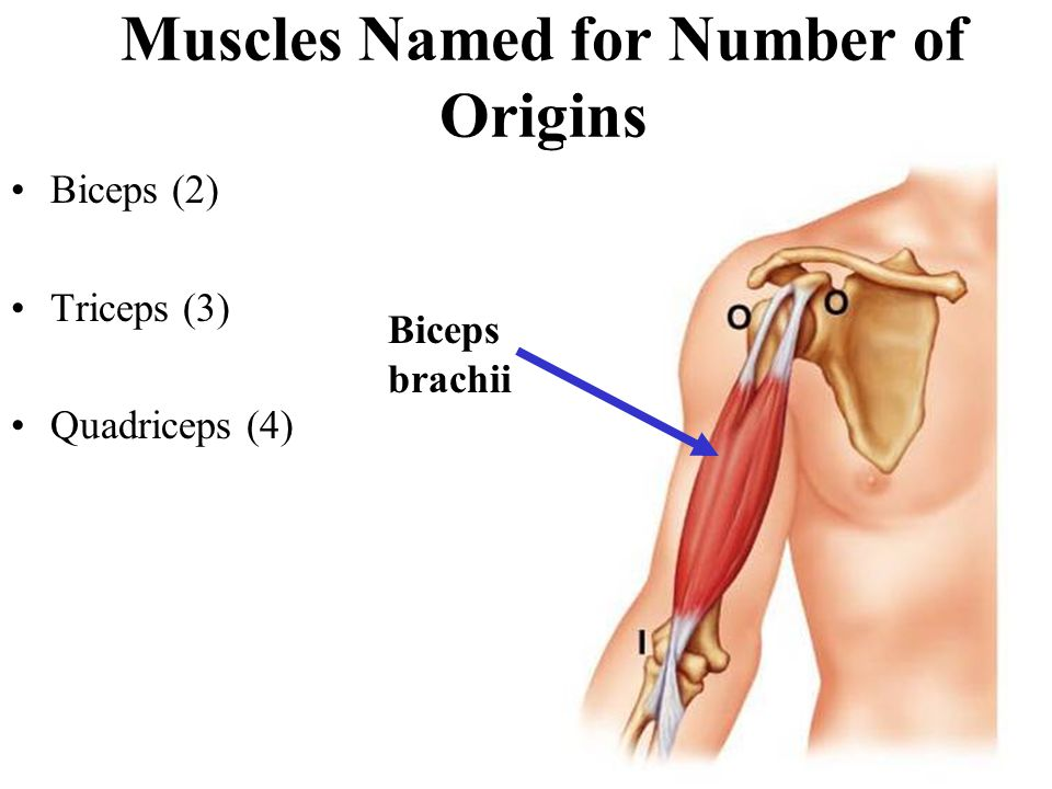 Muscles Named for Number of Origins