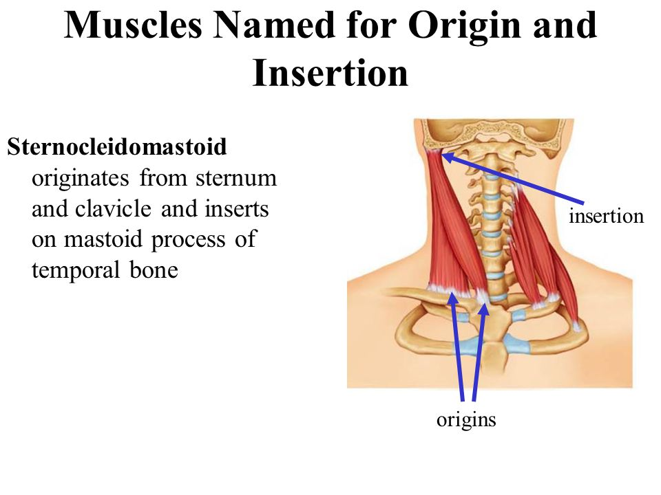 Muscles Named for Origin and Insertion