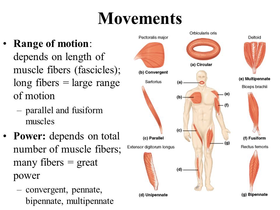 Movements Range of motion: depends on length of muscle fibers (fascicles); long fibers = large range of motion.