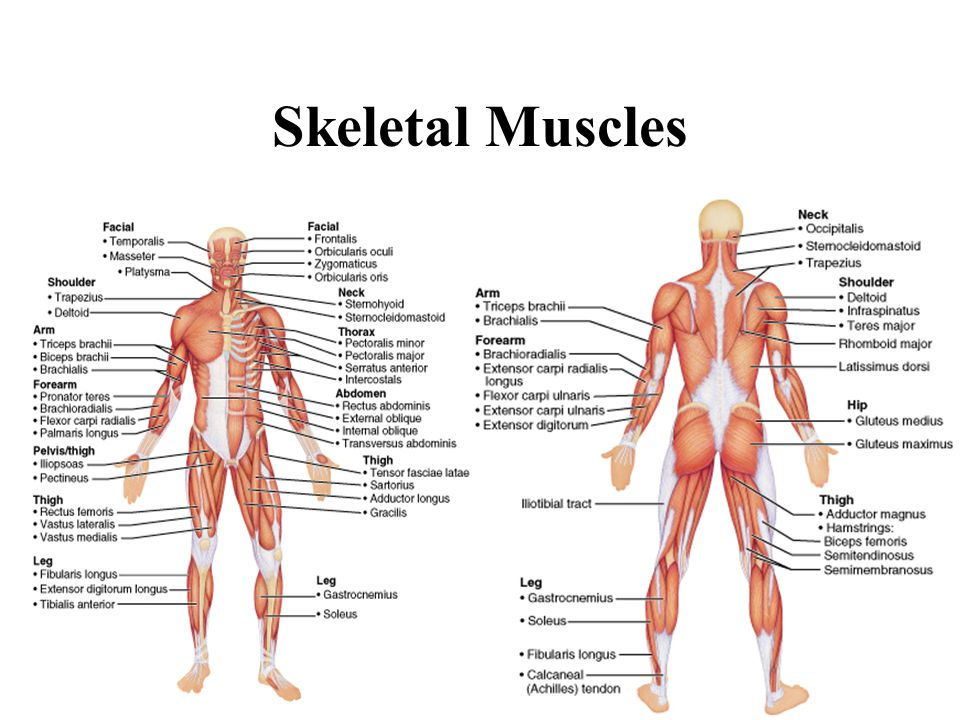 the skeletal, muscular and levers system - ppt video online download, Muscles