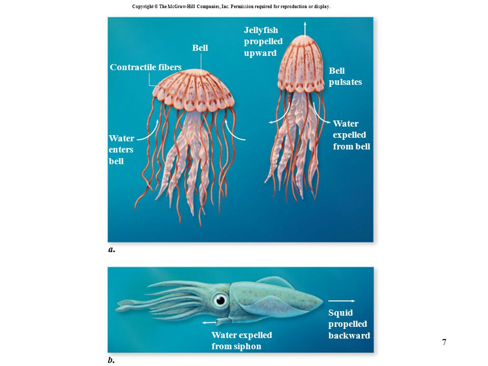 Jellyfish propelled upward Contractile fibers Bell pulsates expelled