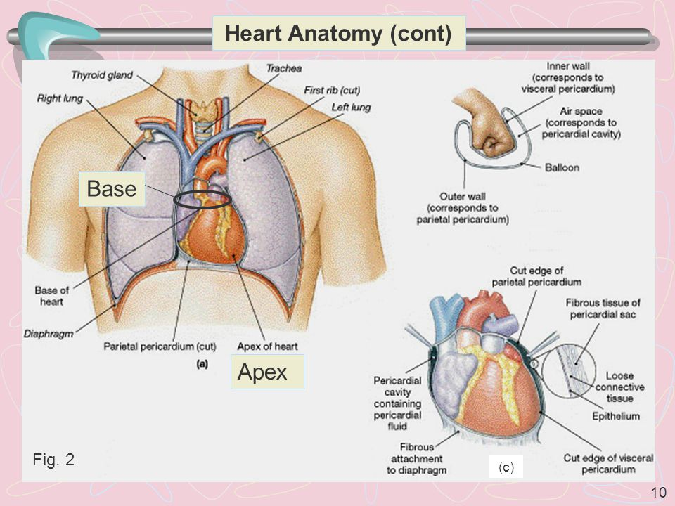 Heart Anatomy (cont) Base Apex Fig. 2 (c)