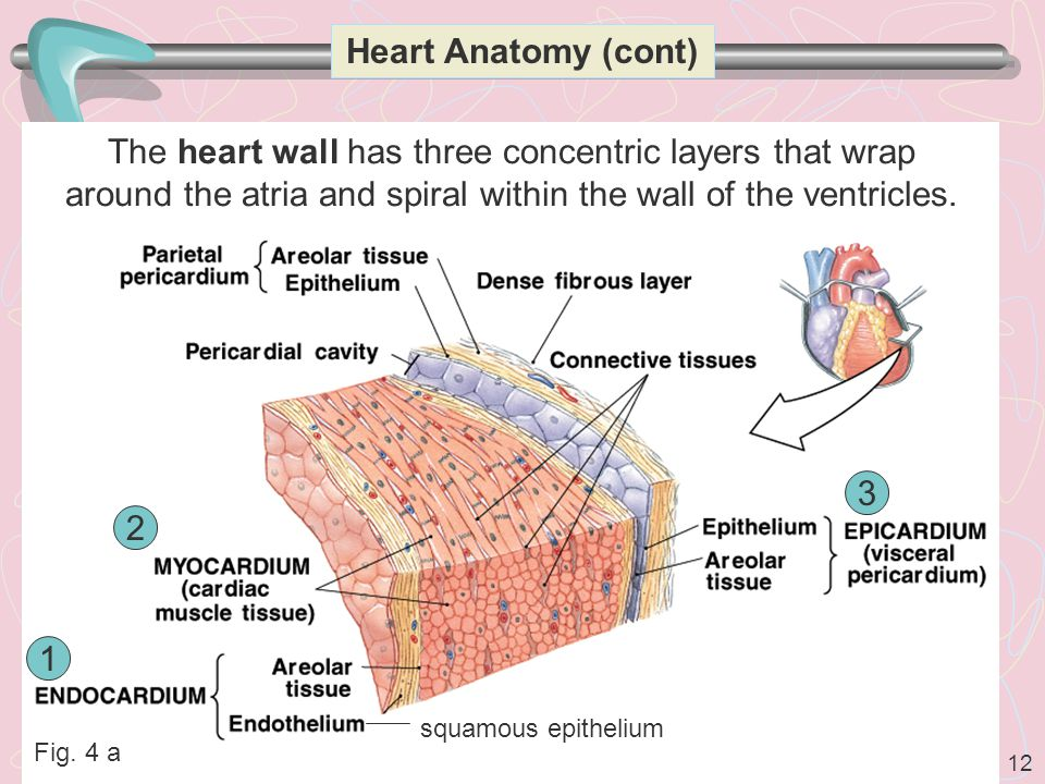 Heart Anatomy (cont) The heart wall has three concentric layers that wrap around the atria and spiral within the wall of the ventricles.