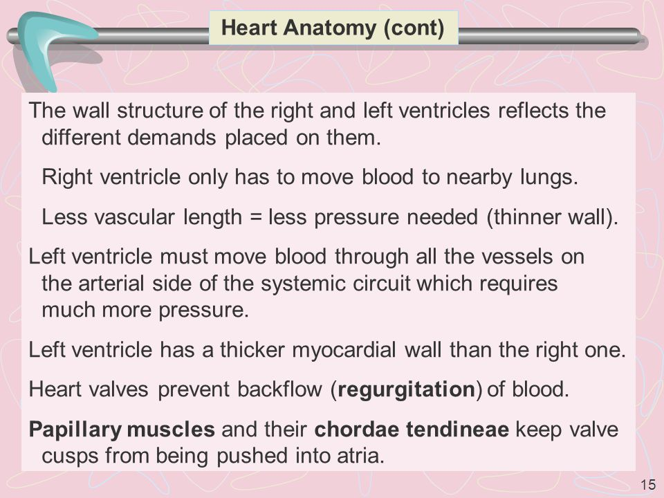 Heart Anatomy (cont) The wall structure of the right and left ventricles reflects the different demands placed on them.