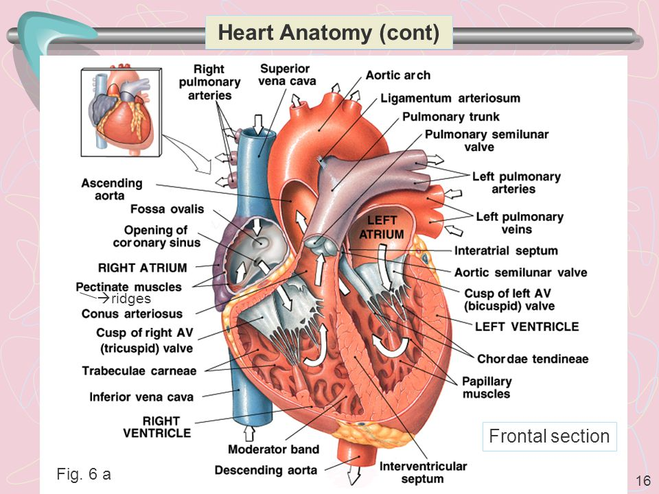 Heart Anatomy (cont) ridges Frontal section Fig. 6 a