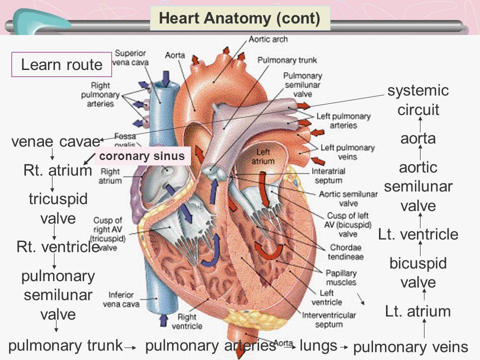 aortic semilunar valve