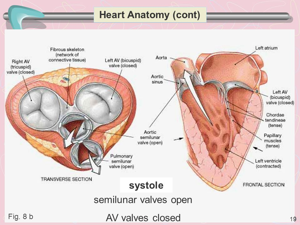 Heart Anatomy (cont) systole