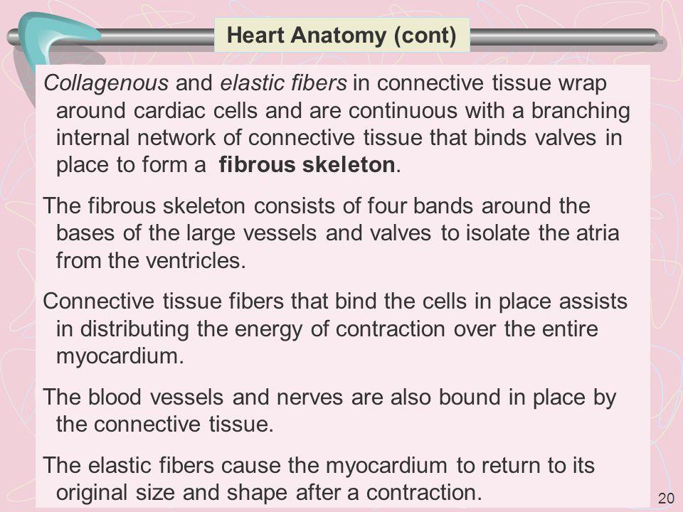 Heart Anatomy (cont)