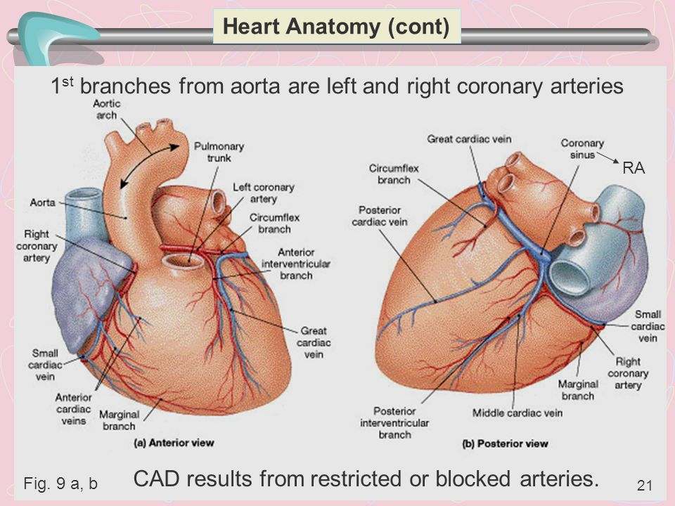 1st branches from aorta are left and right coronary arteries
