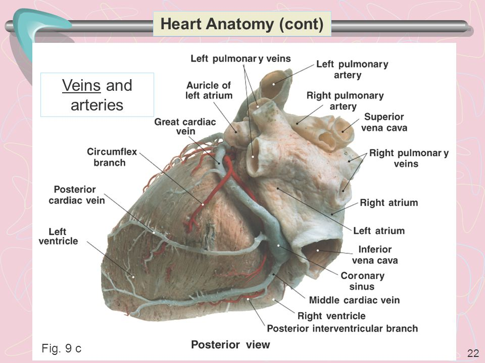 Heart Anatomy (cont) Veins and arteries Fig. 9 c
