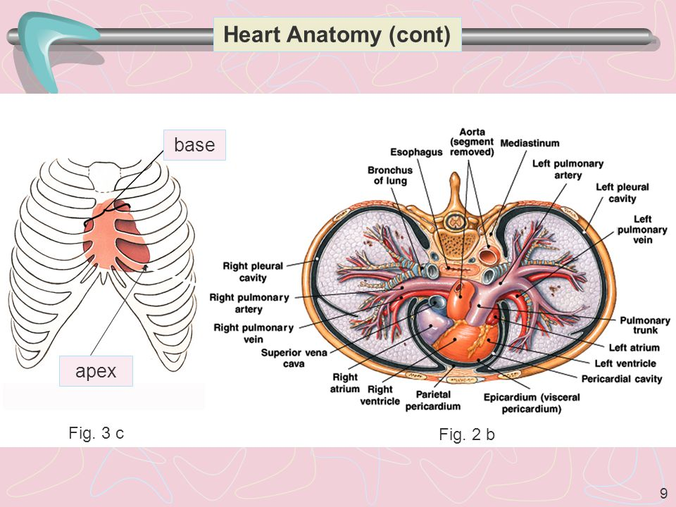Heart Anatomy (cont) base apex Fig. 3 c Fig. 2 b