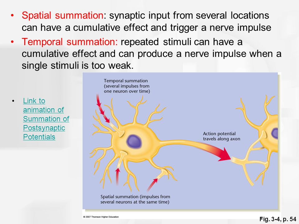 Spatial summation: synaptic input from several locations can have a cumulative effect and trigger a nerve impulse