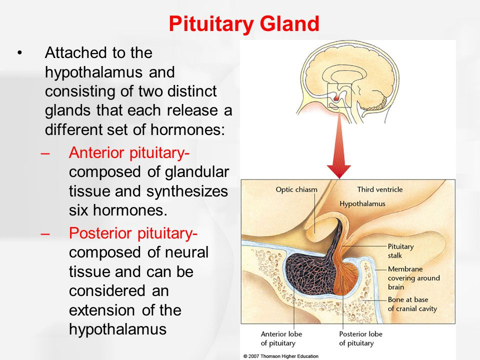 Pituitary Gland Attached to the hypothalamus and consisting of two distinct glands that each release a different set of hormones: