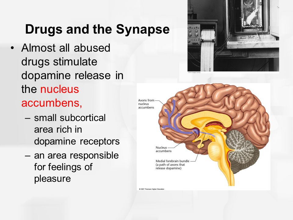Drugs and the Synapse Almost all abused drugs stimulate dopamine release in the nucleus accumbens, small subcortical area rich in dopamine receptors.