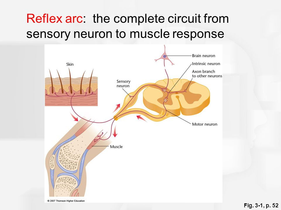 Reflex arc: the complete circuit from sensory neuron to muscle response