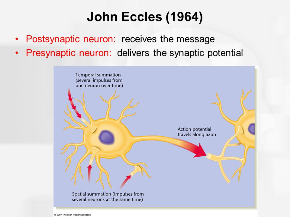 John Eccles (1964) Postsynaptic neuron: receives the message