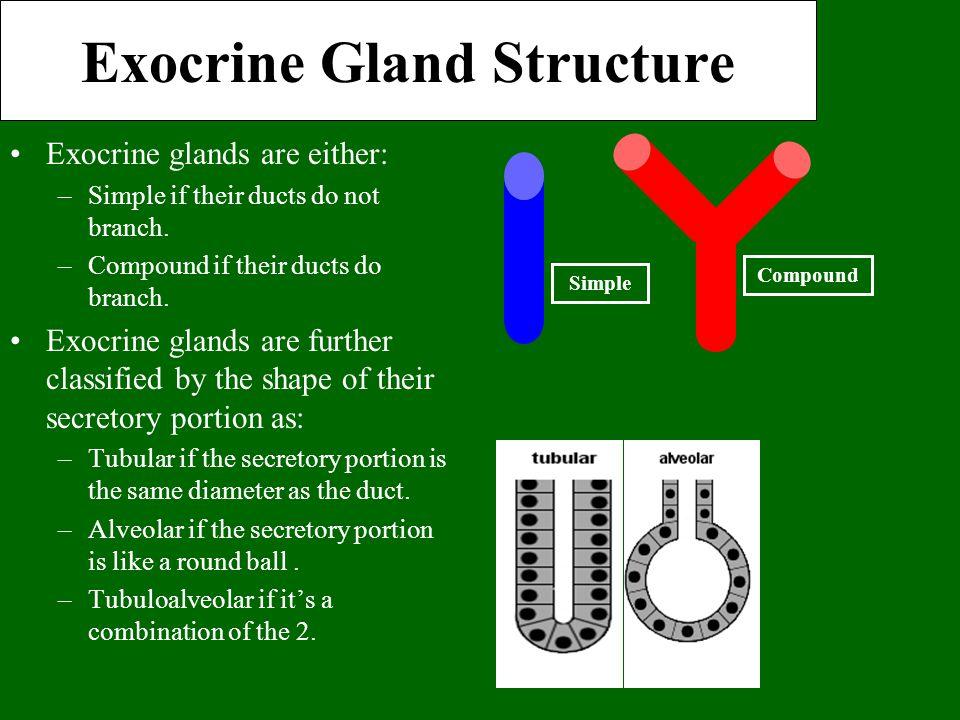 Exocrine Gland Structure