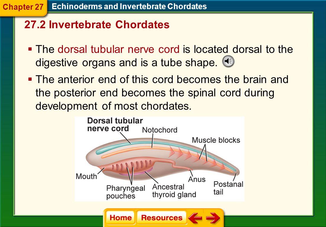 27.2 Invertebrate Chordates