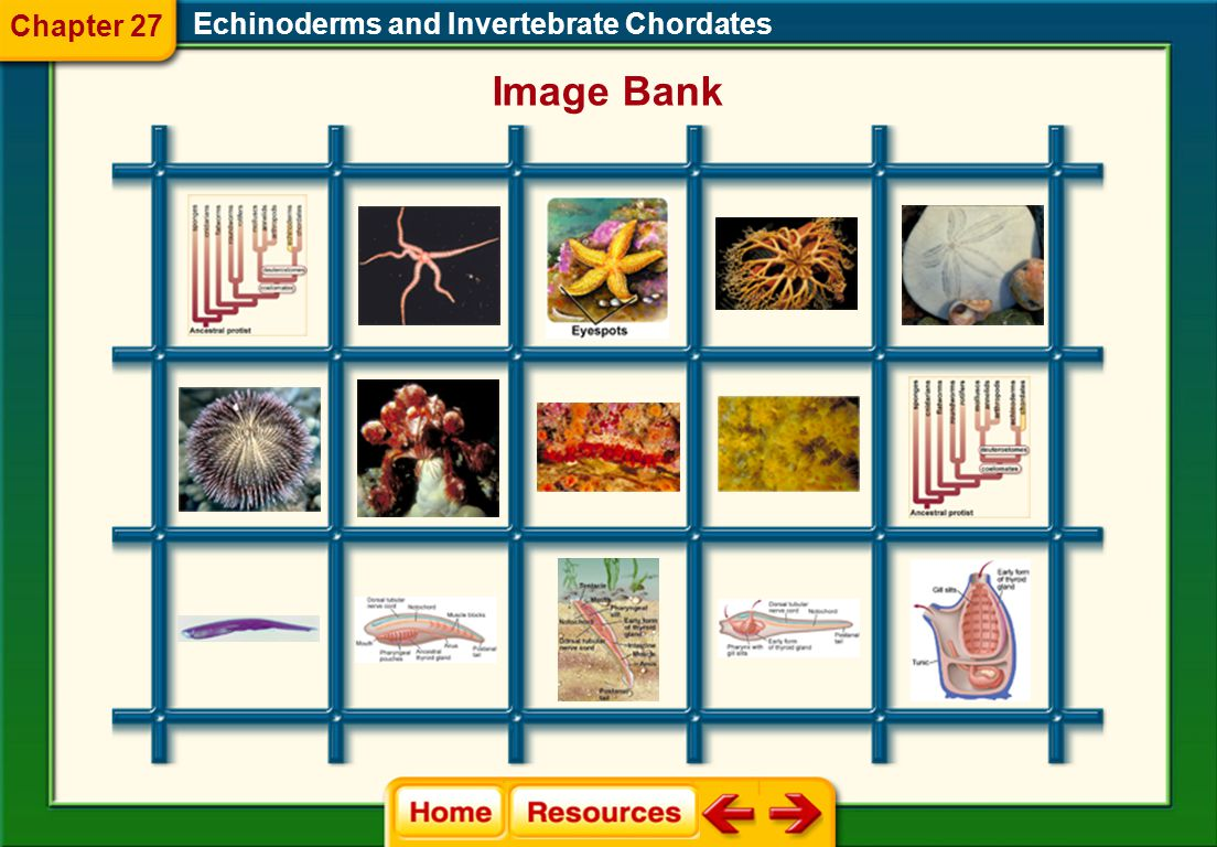 Chapter 27 Echinoderms and Invertebrate Chordates Image Bank