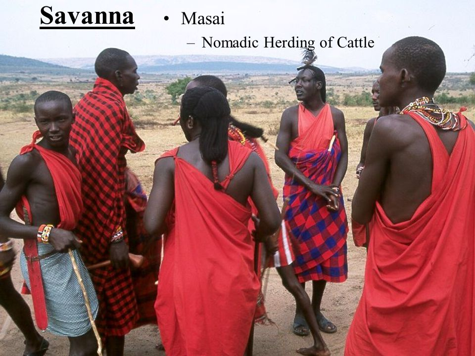 Savanna Masai Nomadic Herding of Cattle
