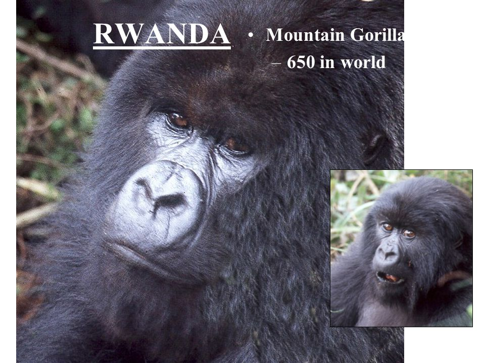 RWANDA Mountain Gorillas 650 in world