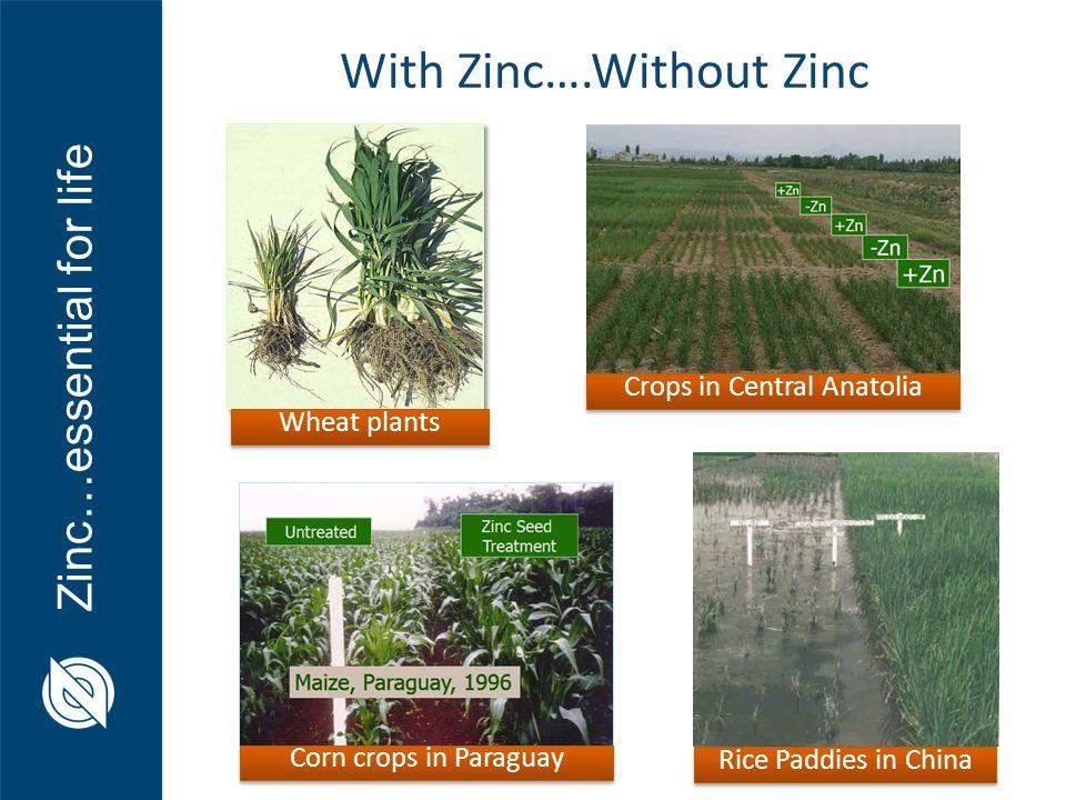 With Zinc….Without Zinc