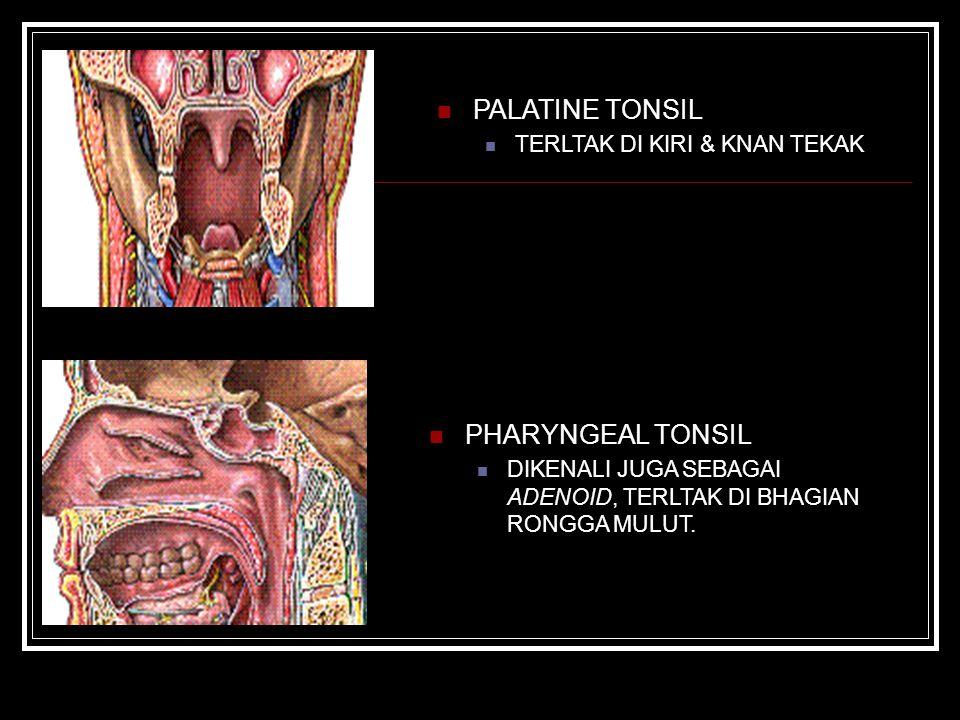 PALATINE TONSIL PHARYNGEAL TONSIL TERLTAK DI KIRI & KNAN TEKAK