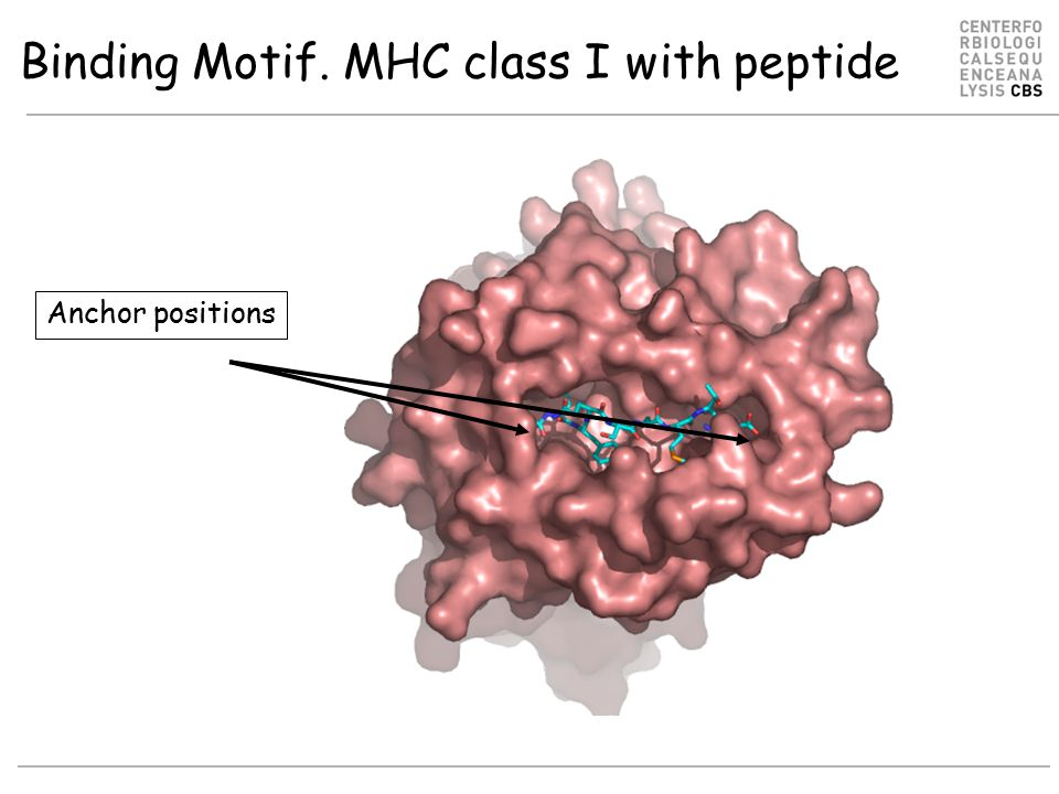 Binding Motif. MHC class I with peptide