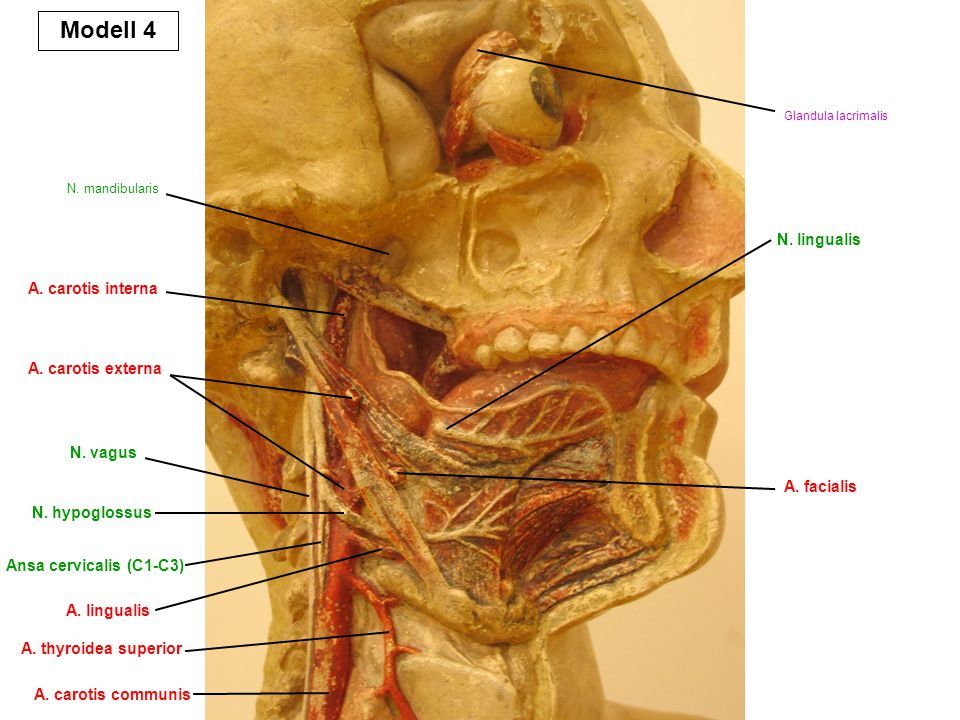 Modell 4 N. lingualis A. carotis interna A. carotis externa N. vagus