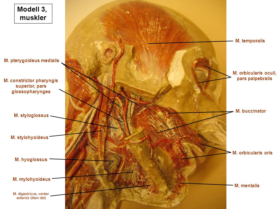 Modell 3, muskler M. temporalis M. pterygoideus medialis