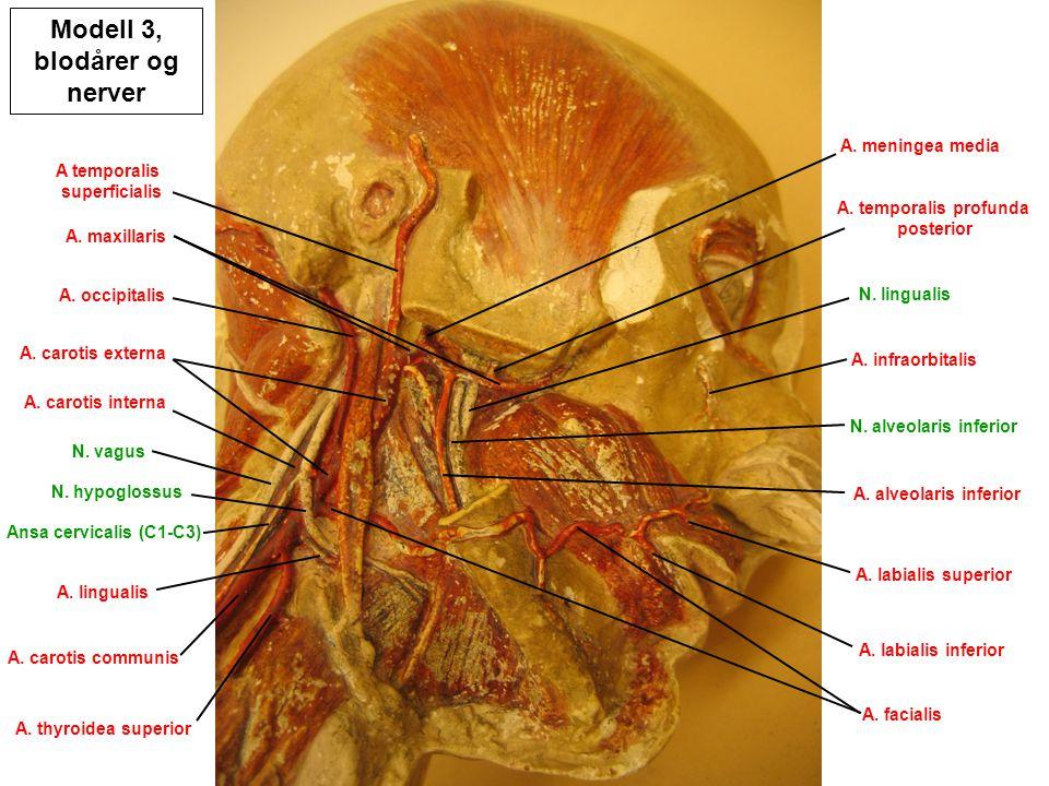 Modell 3, blodårer og nerver