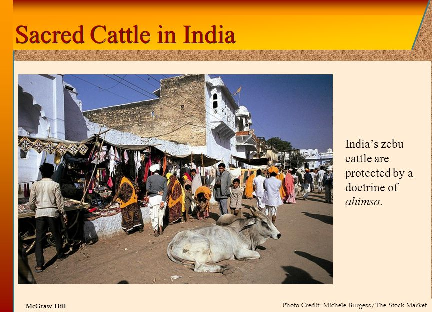 Sacred Cattle in India India's zebu cattle are protected by a doctrine of ahimsa.