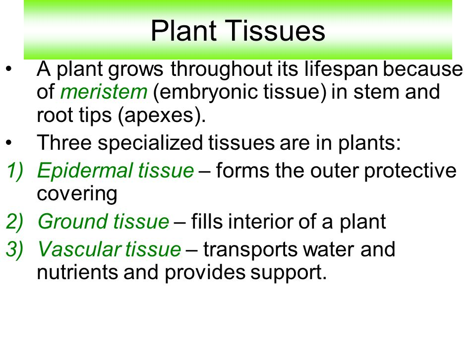 Plant Tissues A plant grows throughout its lifespan because of meristem (embryonic tissue) in stem and root tips (apexes).