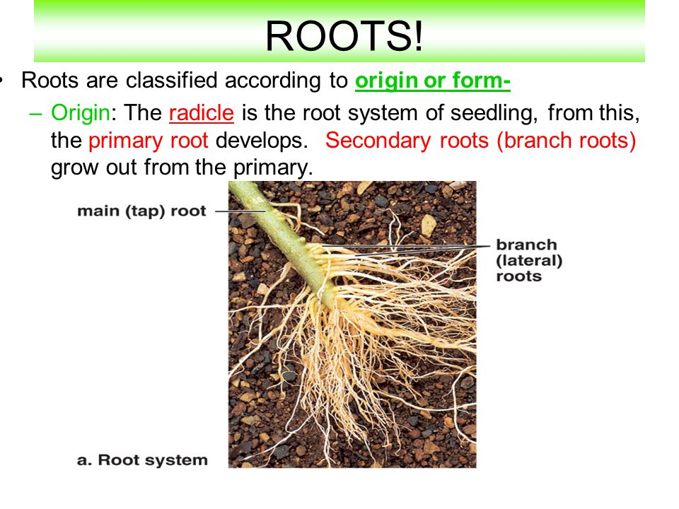 ROOTS! Roots are classified according to origin or form-
