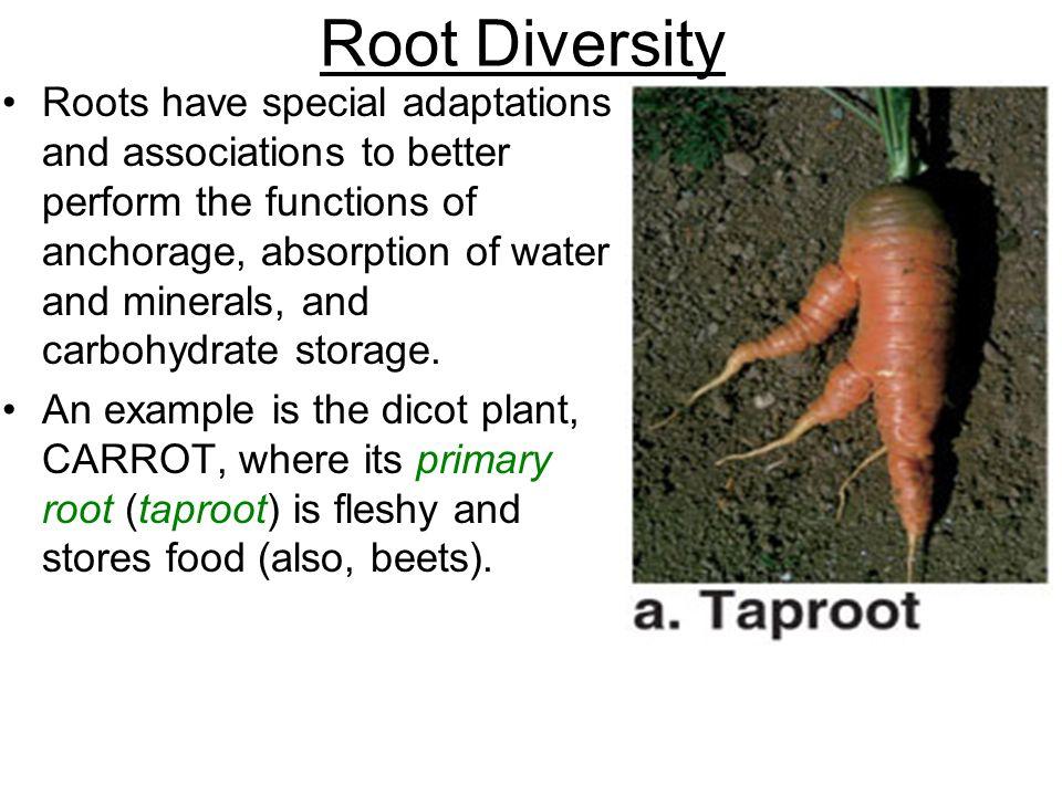 Root Diversity