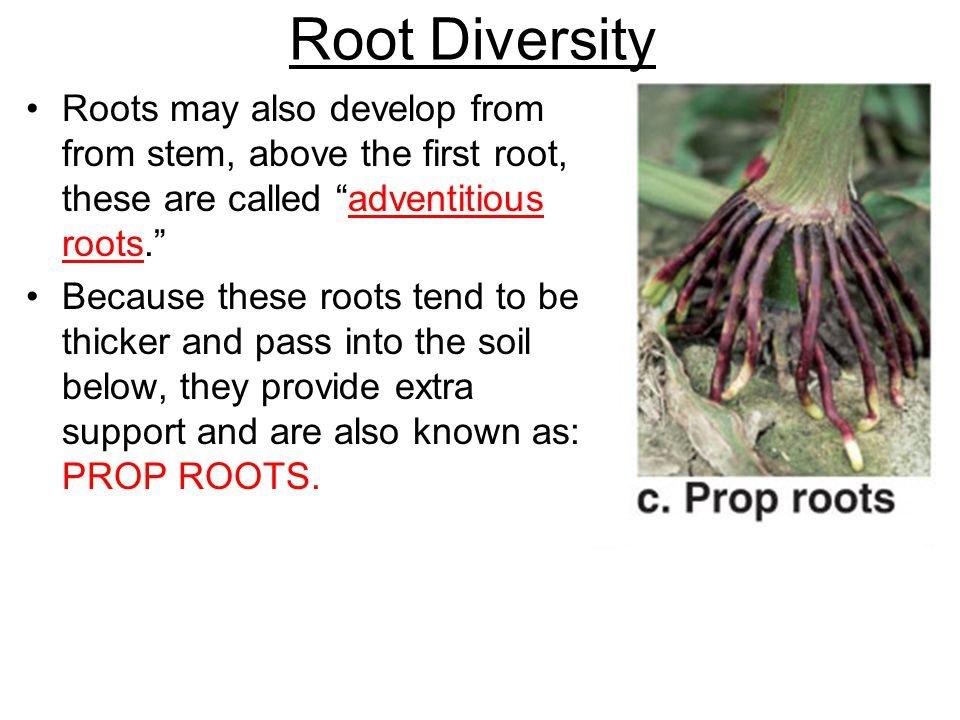 Root Diversity Roots may also develop from from stem, above the first root, these are called adventitious roots.