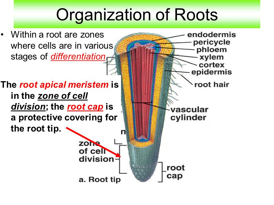 Organization of Roots Within a root are zones where cells are in various stages of differentiation.