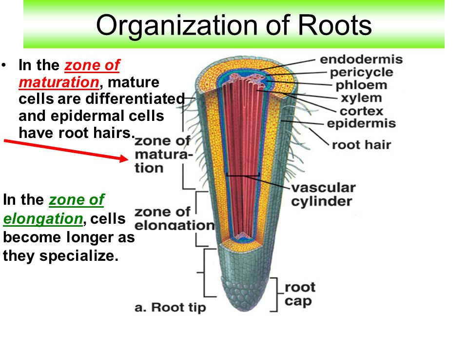 Organization of Roots In the zone of maturation, mature cells are differentiated and epidermal cells have root hairs.