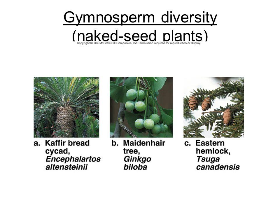 Gymnosperm diversity (naked-seed plants)